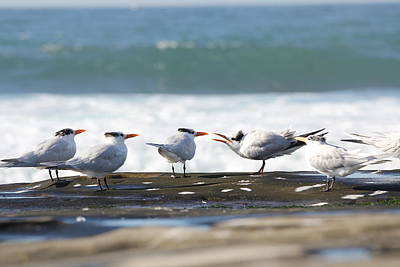 Photograph - Royal Terns by Jane Girardot