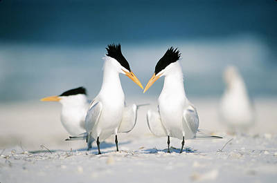 Photograph - Royal Terns by Paul J. Fusco