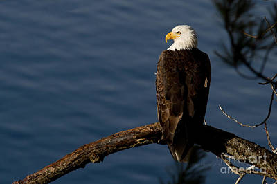 Eagle Photograph - Royalty by Beve Brown-Clark Photography
