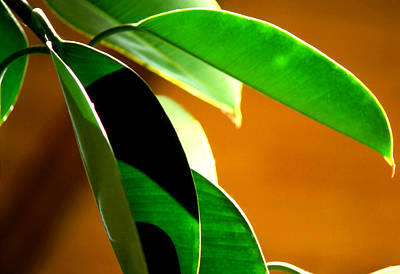 Photograph - Rubber Tree Plant by Robert  Rodvik