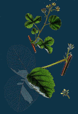 Raspberry Drawing - Rubus Leesii Lees Raspberry by English School