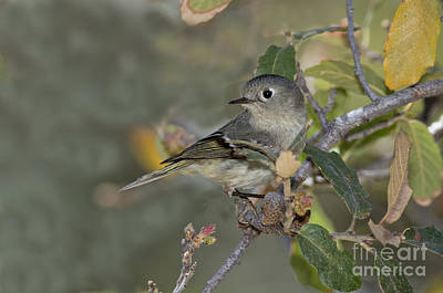 Ruby-crowned Kinglet Birds Photograph - Ruby-crowned Kinglet by Anthony Mercieca
