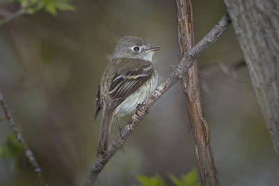 Photograph - Ruby Crowned Kinglet - Female by Jack R Perry