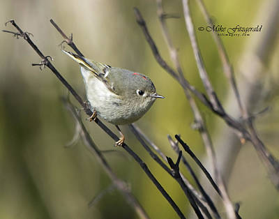 Photograph - Ruby-crowned Kinglet by Mike Fitzgerald