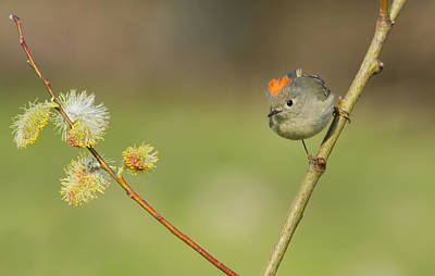 Ruby-crowned Kinglet Birds Photograph - Ruby-crowned Kinglet  by Mircea Costina Photography