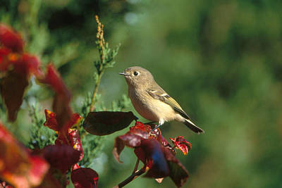 Ruby-crowned Kinglet Birds Photograph - Ruby-crowned Kinglet by Paul J. Fusco