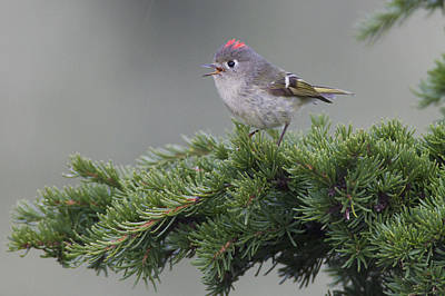 Ruby-crowned Kinglet Birds Photograph - Ruby-crowned Kinglet Perched On A Tree by Milo Burcham