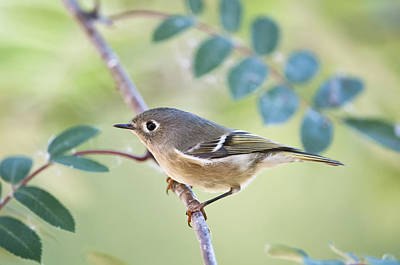 Ruby-crowned Kinglet Birds Photograph - Ruby-crowned Kinglet Regulus Calendula by Kenneth Whitten