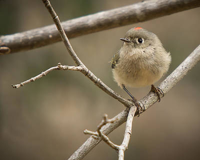 Photograph - Ruby-crowned Kinglet by Robert L Jackson