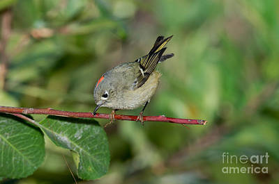 Ruby-crowned Kinglet Birds Photograph - Ruby-crowned Kinglet Showing Crown by Anthony Mercieca