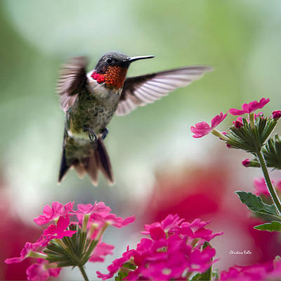 Photograph - Ruby Garden Jewel Hummingbird Square by Christina Rollo