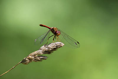 Photograph - Ruby Meadowhawk Dragonfly by Christina Rollo