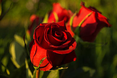 Photograph - Ruby Red Valentines Roses  by Georgia Mizuleva