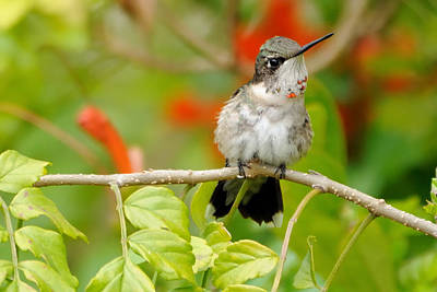 Photograph - Ruby Throat by Bradford Martin