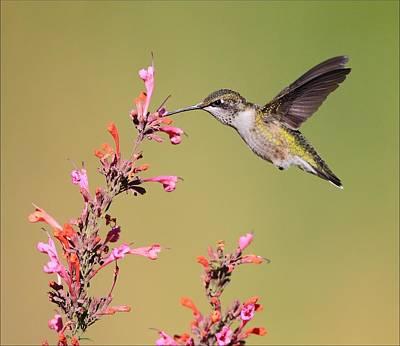 Photograph - Ruby Throat Hummingbird On Flower by Daniel Behm