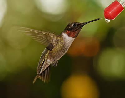 Art Print featuring the photograph Ruby-throat Hummingbird by Robert L Jackson