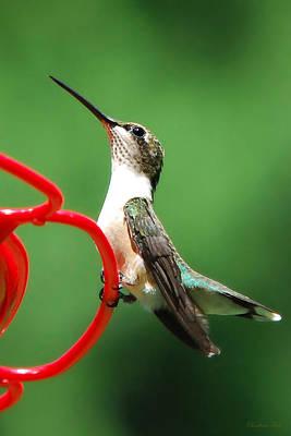 Photograph - Ruby Throat Hummingbird Sugar by Christina Rollo