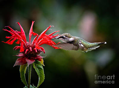 Photograph - Ruby Throated Girl by Cheryl Baxter