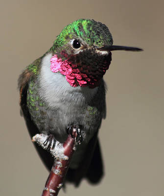 Photograph - Ruby-throated Hummer by Shane Bechler