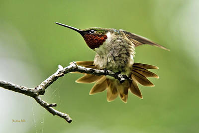 Photograph - Ruby-throated Hummingbird-4 by Christina Rollo