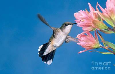 Ruby-throated Hummingbird Art Print by Anthony Mercieca