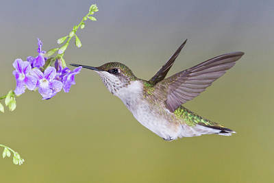Wild Wings Photograph - Ruby-throated Hummingbird (archilochus by Larry Ditto