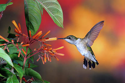 Ruby-throated Hummingbird Photograph - Ruby-throated Hummingbird Archilochus by Panoramic Images