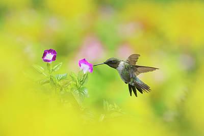 Ruby-throated Hummingbird Photograph - Ruby-throated Hummingbird (archilochus by Rolf Nussbaumer