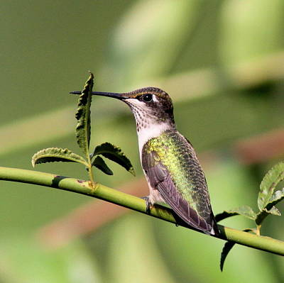 The Champagne Collection - Ruby-throated Hummingbird - Behind the Leaf by Travis Truelove