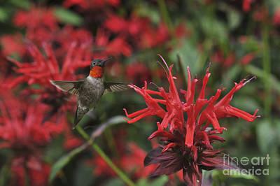 Shark Art - Ruby throated hummingbird beside cardinal plants by Dan Friend