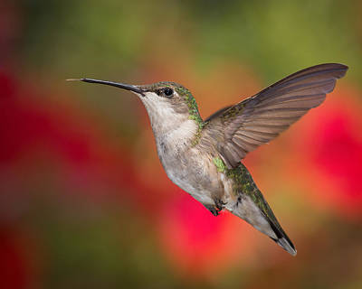 Photograph - Ruby Throated Hummingbird by Dale Kincaid