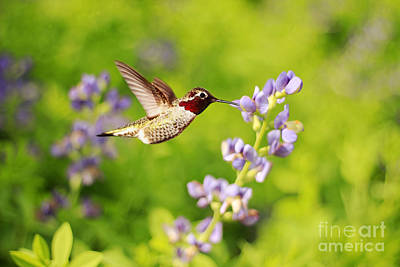 Iridescent Photograph - Ruby Throated Hummingbird by Darren Fisher