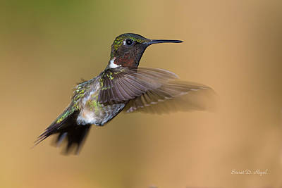 Birds Royalty-Free and Rights-Managed Images - Ruby-throated Hummingbird by Everet Regal