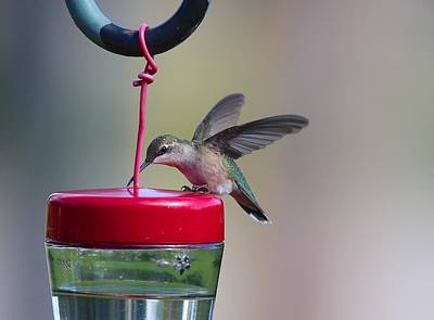 Photograph - Ruby-throated Hummingbird Female by John Dart
