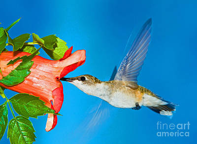Ruby Throated Hummingbird Female Art Print