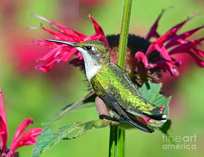 Photograph - Ruby Throated Hummingbird Female by Rodney Campbell
