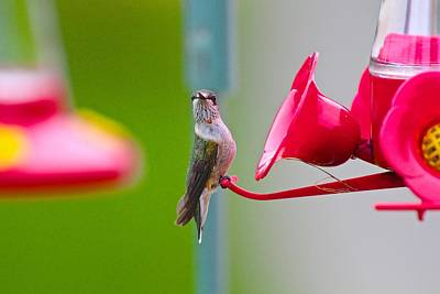 Photograph - Ruby-throated Hummingbird Female Smile by John Dart