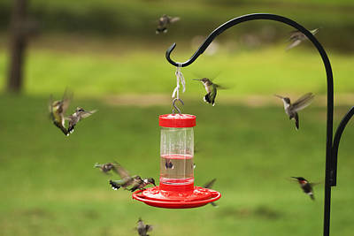 Frenzy Photograph - Ruby Throated Hummingbird Frenzy by Kathy Clark