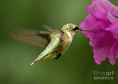 Photograph - Ruby Throated Hummingbird by Jemmy Archer