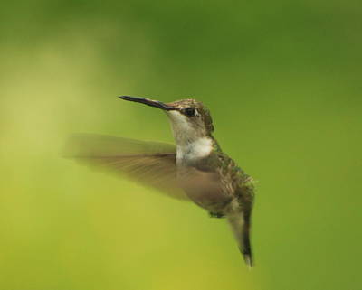 Photograph - Ruby Throated Hummingbird by John Burk