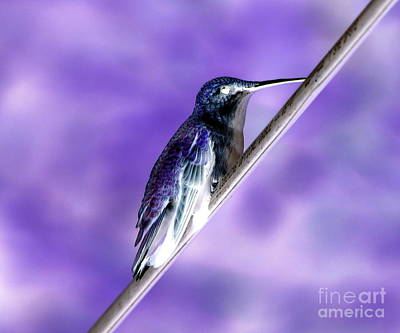 Negative Effect Digital Art - Ruby Throated Hummingbird On A Wire Negative Image by Rose Santuci-Sofranko