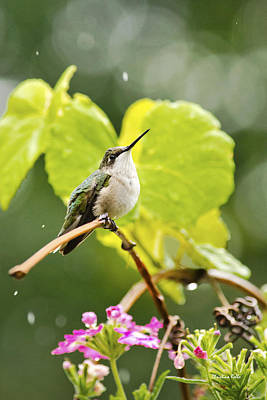 Photograph - Hummingbird On Vine In The Rain by Christina Rollo