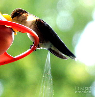 Art Print featuring the photograph Ruby-throated Hummingbird Pooping by Rose Santuci-Sofranko