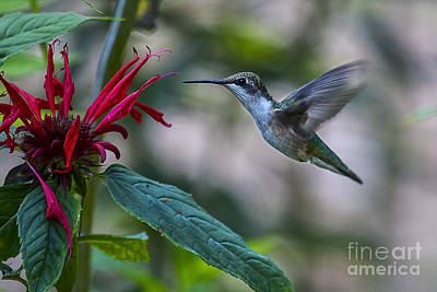 Photograph - Ruby Throated Hummingbird by Ronald Lutz