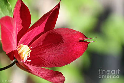 Photograph - Ruby's Clematis by Susan Herber