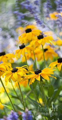 Black Eyed Susan Photograph - Rudbeckia Fulgida Goldsturm by Tim Gainey