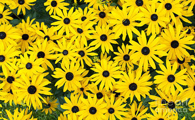 Rudbeckia Fulgida 'pot Of Gold'  Art Print by Tim Gainey