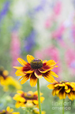 Rudbeckia Hirta Art Print by Tim Gainey