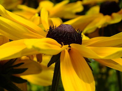 Photograph - Rudbeckia Yellow by Gene Cyr