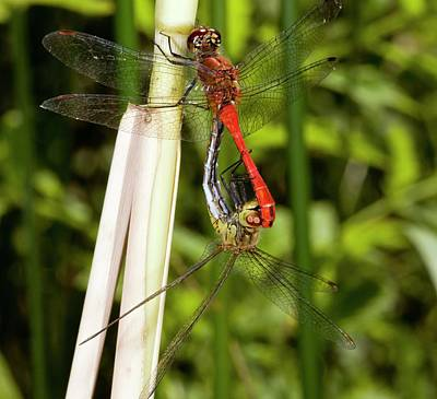 Copulation Photograph - Ruddy Darter Dragonflies Mating by Bob Gibbons